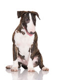 English bull terrier puppy Stock Image