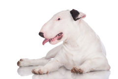 English bull terrier puppy Stock Photography