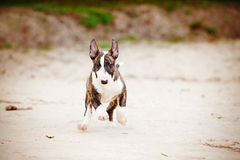 English bull terrier puppy running Royalty Free Stock Photography