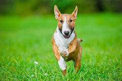 English bull terrier puppy running outside Royalty Free Stock Photography