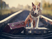 English bull terrier on rails with suitcases. Royalty Free Stock Photography