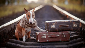 English bull terrier on rails with suitcases. The bull terrier looks for the house. The dog waits for the owner. The lost dog. Bull terrier on the road. Dog on Stock Images