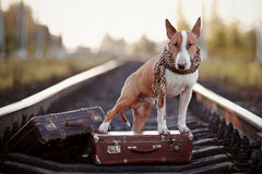 English bull terrier on rails with suitcases. The bull terrier looks for the house. The dog waits for the owner. The lost dog. Bull terrier on the road. Dog on Royalty Free Stock Photography