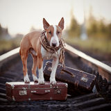 English bull terrier on rails with suitcases. Stock Photography