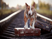 English bull terrier on rails with suitcases. The bull terrier looks for the house. The dog waits for the owner. The lost dog. Bull terrier on the road. Dog on Royalty Free Stock Images