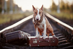 English bull terrier on rails with suitcases. The bull terrier looks for the house. The dog waits for the owner. The lost dog. Bull terrier on the road. Dog on Stock Photo