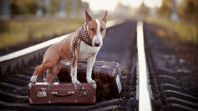 English bull terrier on rails with suitcases. The bull terrier looks for the house. The dog waits for the owner. The lost dog. Bull terrier on the road. Dog on Stock Photography