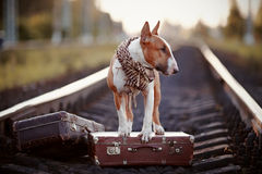 English bull terrier on rails with suitcases. Royalty Free Stock Photos