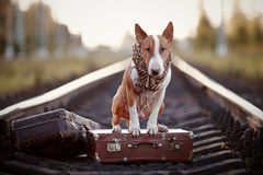 English bull terrier on rails with suitcases. The bull terrier looks for the house. The dog waits for the owner. The lost dog. Bull terrier on the road. Dog on Stock Photos