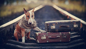 English bull terrier on rails with suitcases. The bull terrier looks for the house. The dog waits for the owner. The lost dog. Bull terrier on the road. Dog on Royalty Free Stock Image