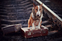English bull terrier on rails with suitcases. Stock Images