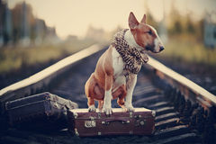 English bull terrier on rails with suitcases. The bull terrier looks for the house. The dog waits for the owner. The lost dog. Bull terrier on the road. Dog on Royalty Free Stock Photos