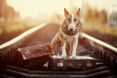 English bull terrier on rails with suitcases. The bull terrier looks for the house. The dog waits for the owner. The lost dog. Bull terrier on the road. Dog on Stock Image