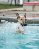 English Bull Terrier swimming in the pool Royalty Free Stock Photo