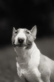 English bull terrier. Thoroughbred dog. Royalty Free Stock Photo