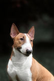 English bull terrier. Thoroughbred dog. Royalty Free Stock Photography