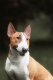 English bull terrier. Thoroughbred dog. Stock Images