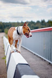 English bull terrier. Stock Images