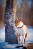 Bull terrier on walk in park. Royalty Free Stock Photo