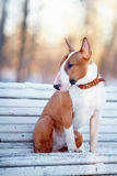 The red bull terrier sits on a bench. Royalty Free Stock Photography