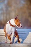 The red bull terrier on a white bench in park. Royalty Free Stock Photography