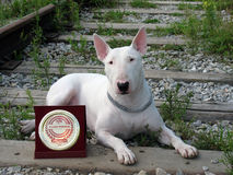 English bull Terrier walks outdoors. In the summer royalty free stock images