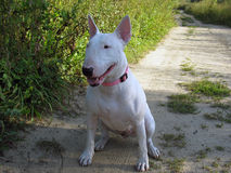 English bull Terrier walks outdoors Stock Photography