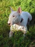 English bull Terrier walks outdoors. In the summer stock photo