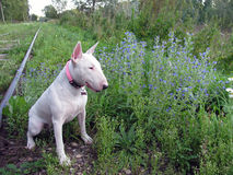 English bull Terrier walks outdoors. In the summer stock images