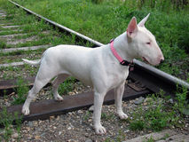 English bull Terrier walks outdoors. In the summer stock photography