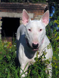 English bull Terrier walks outdoors. In the summer royalty free stock photo