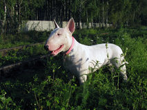 English bull Terrier walks outdoors. In the summer stock image