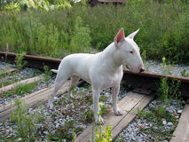 English bull Terrier walks outdoors Royalty Free Stock Images