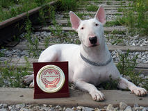 English bull Terrier walks outdoors. In the summer royalty free stock photos