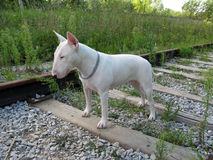 English bull Terrier walks outdoors. In the summer royalty free stock image