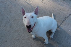 English bull Terrier walks outdoors Stock Image