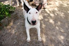 English Bull Terrier white dog is furious and angry in garden outdoor, closeup. White bull terrier dog is walking and looking. English Bull Terrier white dog is Royalty Free Stock Photos