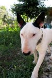 English Bull Terrier white dog in garden outdoor, a beautiful natural environment. White bull terrier dog is walking and looking. Royalty Free Stock Images