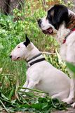 English Bull Terrier white dog and St. Bernard dog is posing in garden, animals portrait, beautiful green trees and bushes. Royalty Free Stock Photography