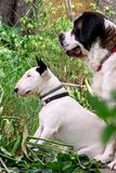 English Bull Terrier white dog and St. Bernard dog is posing in garden, animals portrait, beautiful green trees and bushes. royalty free stock photo