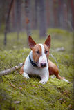 The English bull terrier in the wood Royalty Free Stock Photos