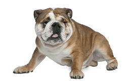 English bulldog, 1 and a half years old, sitting Stock Photography