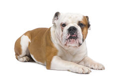 English Bulldog (1 year) Royalty Free Stock Photography