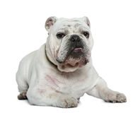 English bulldog, 10 months old, lying Stock Image