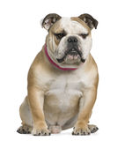 English bulldog, 11 months old, sitting Stock Photography