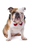 English bulldog Stock Image