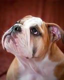 English bulldog. Puppy posing for the camera Royalty Free Stock Photo