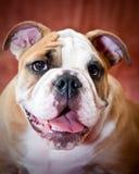 English bulldog. Puppy posing for the camera Stock Photo