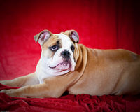 English bulldog. Puppy posing for the camera Stock Images