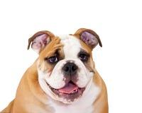 English bulldog. Puppy posing for the camera Stock Photos